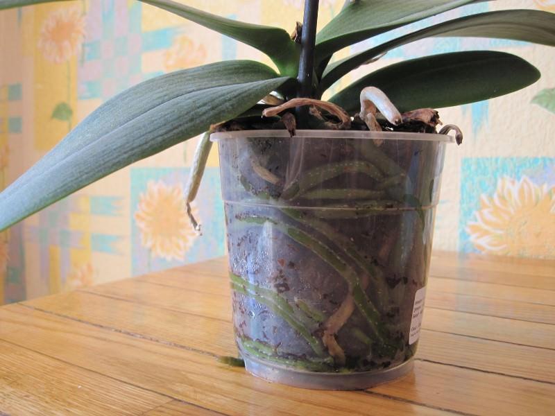 Орхидею с оставшимся количеством жизнеспособных корней сразу высаживают в тесную емкость маленьких размеров