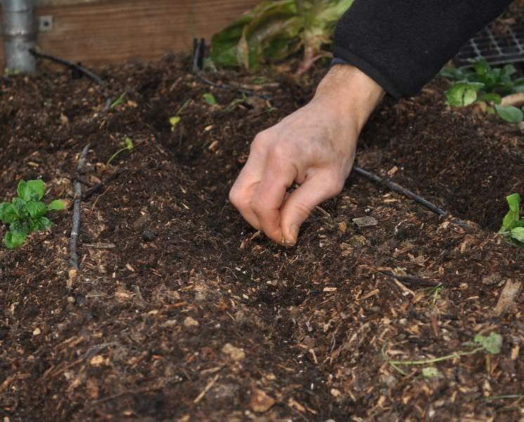 Чтобы к лету получить ранний урожай пекинки, семена на рассаду следует высаживать уже под конец марта