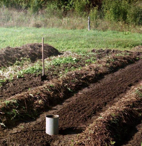 Участок огорода, на котором планируется выращивать пекинскую капусту, необходимо тщательно очистить от сорняков и хорошо взрыхлить