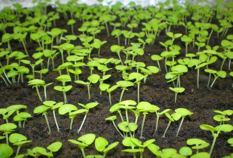 Уже через неделю после посадки проклюнутся первые капустные всходы