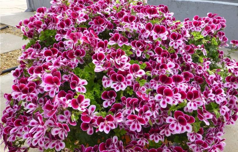 Для обеспечения цветения королевская пеларгония нуждается в удобрениях в теплое время года