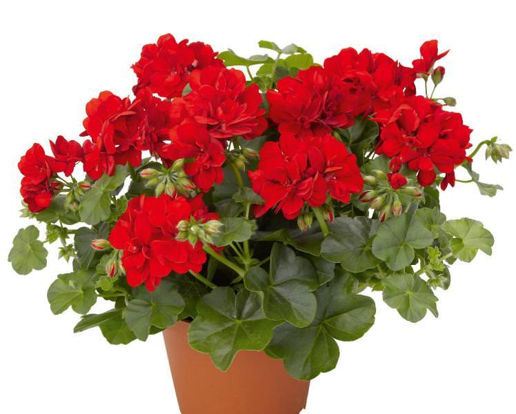 Горшок следует выбирать немного больше, чем предыдущий - герань королевская хорошо цветет в тесных условиях