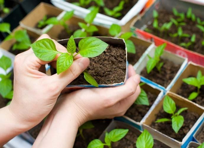 Семена перца сорта Ласточка имеют высокую всхожесть