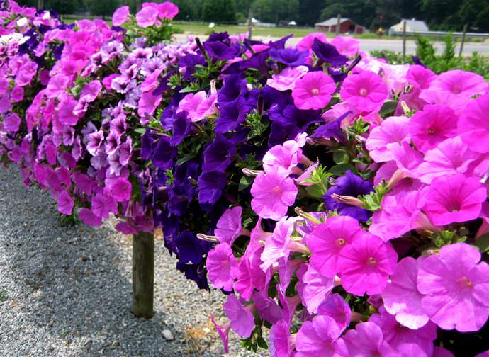 Летом в садах и палисадниках у опытных дачников ярко цветет петуния