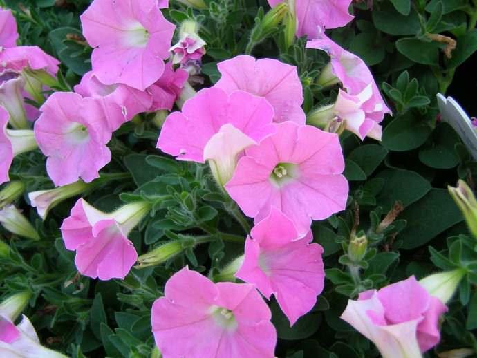 В разных регионах предусмотрены разные сроки посадки цветов и, соответственно, посева семян на рассаду