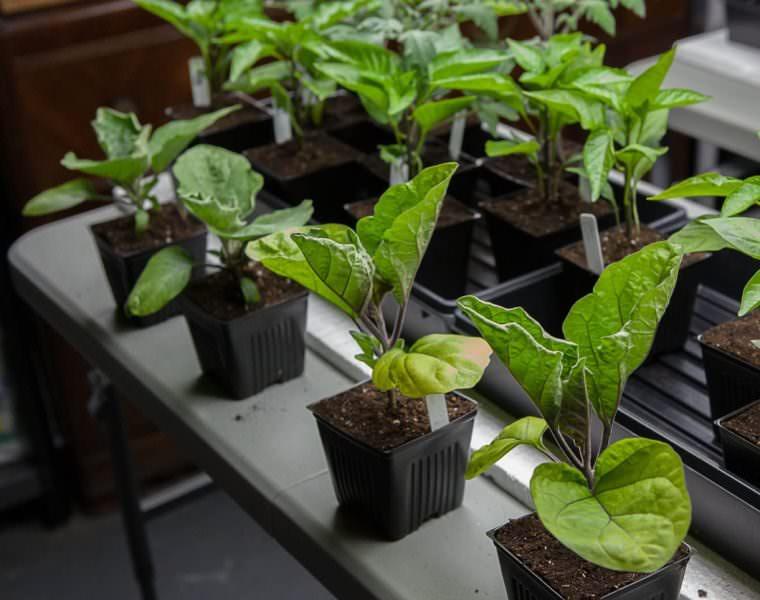 Овощеводы со стажем рекомендуют проводить пикировку тогда, когда у сеянцев появится не менее двух постоянных листиков
