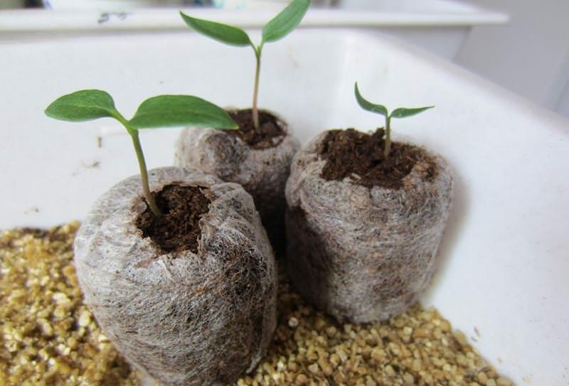 Лучше рассаживать сеянцы в пластиковые одноразовые стаканчики