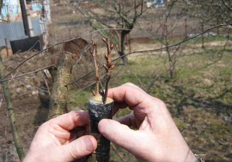 На одном дереве допускается прививка нескольких сортов