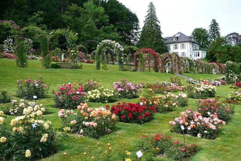 К выбору места посадки необходимо подойти ответственно – роза  как многолетник способна расти до 50 лет