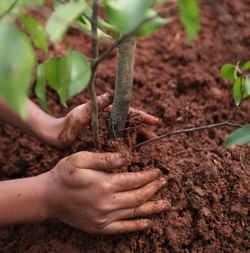 Посадка груш весной является неотъемлемой частью выращивания плодовой культуры