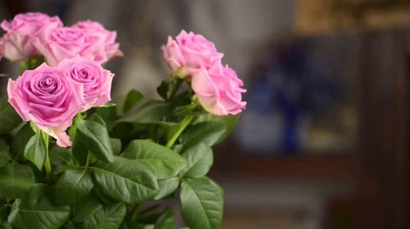 Цветёт роза Аква начиная с конца июня до тех пор, пока не наступит похолодание
