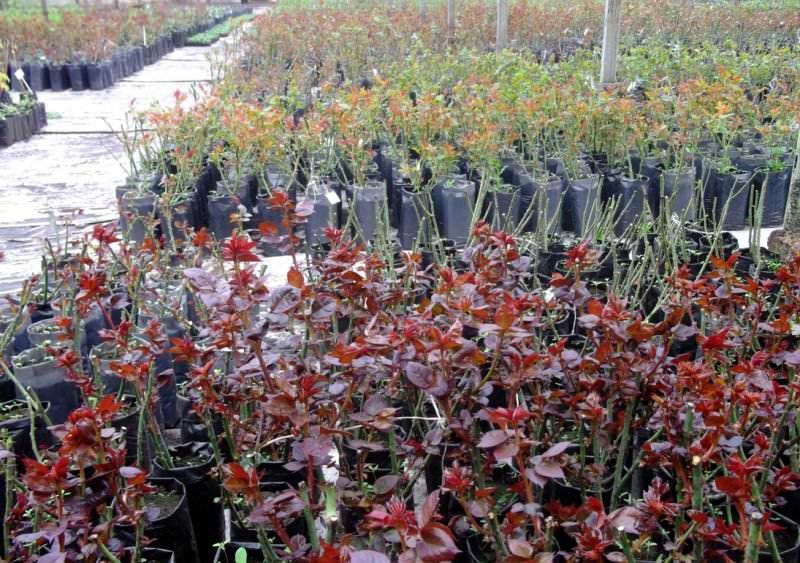 Приобретать саженцы роз, готовые к посадке, лучше всего в специализированном магазине