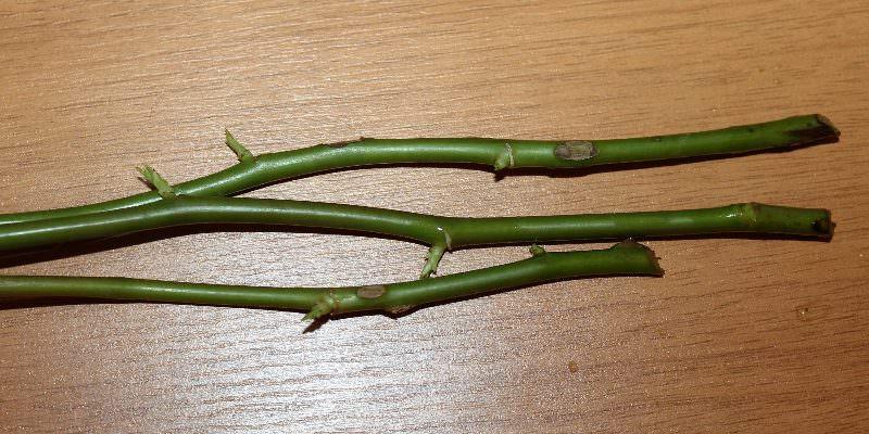 Выращивание роз из черенков отличается не только простотой и доступностью, но также позволяет получить корнесобственные растения