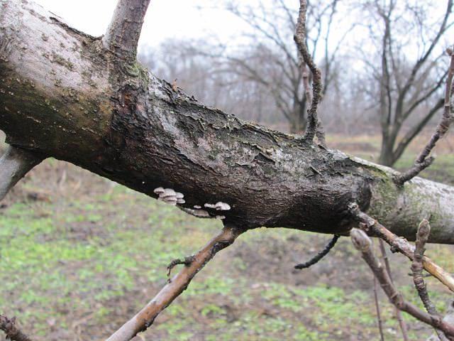 При заболевании дерева раком кора трескается и сохнет, древесина отмирает, и появляются язвы