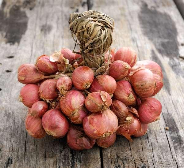 Лук-шалот относится к роду двулетних и многолетних травянистых растений из подсемейства Луковые