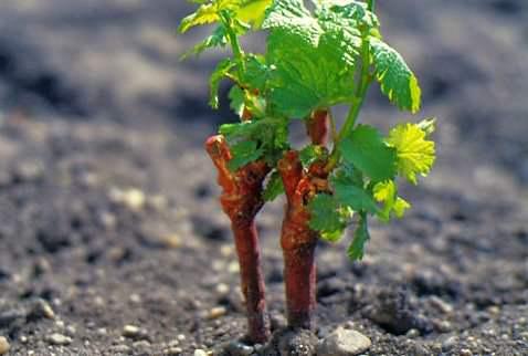 Посадка черенков винограда требует определенных знаний и соблюдения технологии