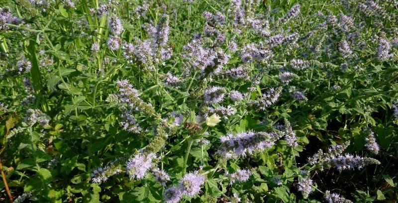 Садовая мята не имеет сильного ментолового привкуса и неприятного запаха
