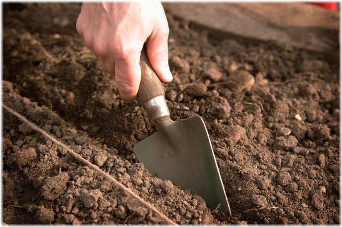Если грядки под высадку свеклы не будут подготовлены заранее, то вряд ли урожай этой овощной культуры будет большим