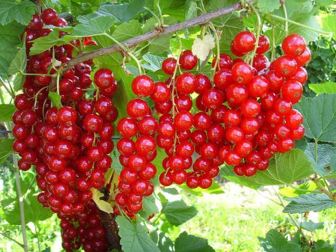 Срок плодоношения красной смородины составляет 10–15 лет