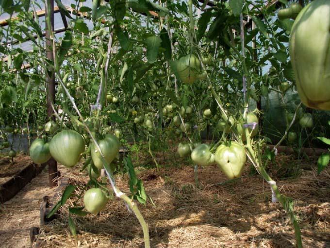 На стадии активной вегетации растениям потребуются три корневые подкормки с применением жидкого коровяка и нитрофоски