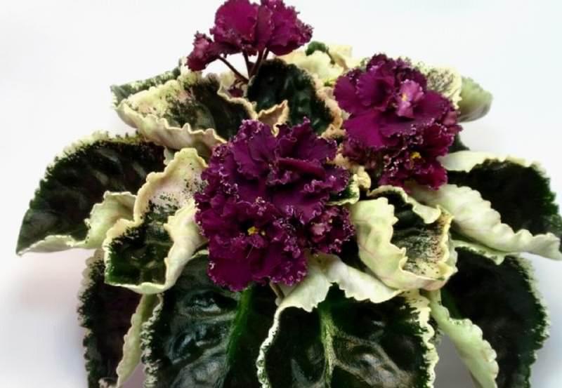 Сенполия относится к многолетним цветам