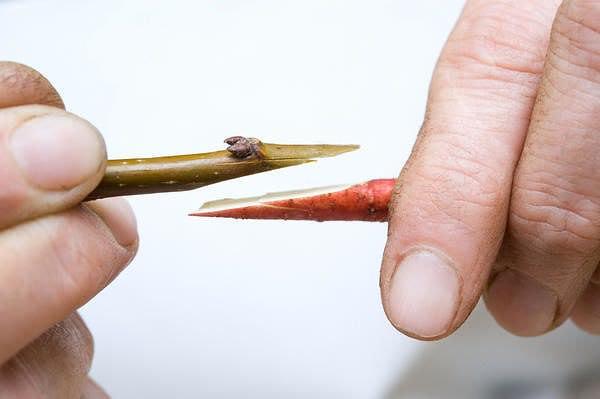 Прививка представляет собой процесс совмещения срезов привоя и подвоя