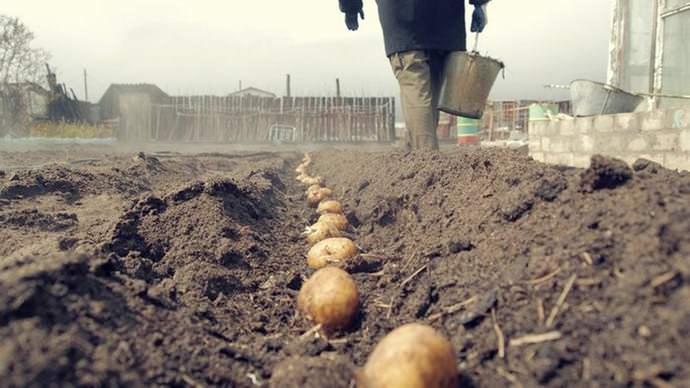 Воздействие Луны оказывает прямое влияние на рост картофеля, исходя из своих фаз