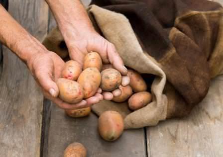 Сохранить клубни картофеля целыми до весны — непростая задача