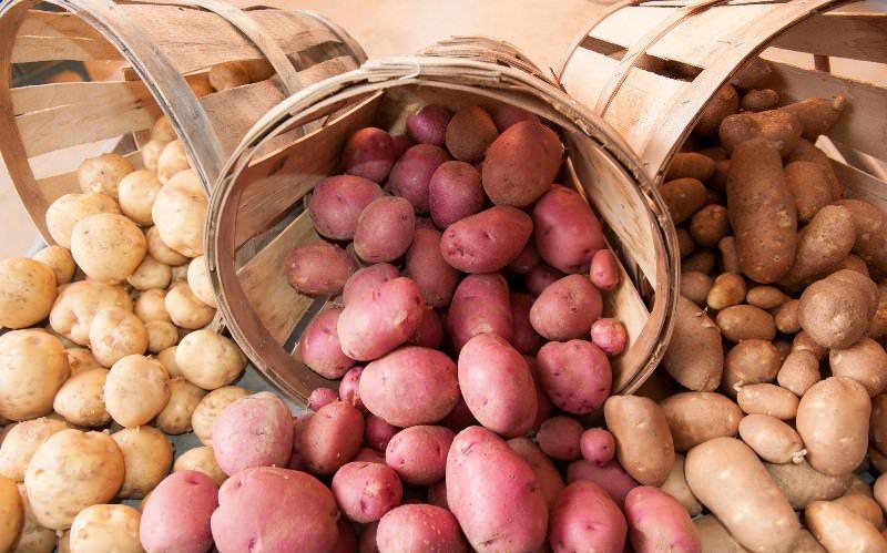 Семенной картофель огородники традиционно выносят на солнце в течение нескольких дней для того, чтобы сделать его непривлекательным для мышей и удлинить срок хранения