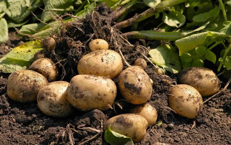 Выкопанный из земли картофель оставляют в поле или на грядке на 2 часа для обсушивания