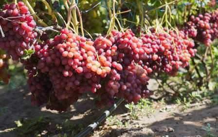 Виноград кишмиш сорта Велес относится к бессемянной селекционной форме