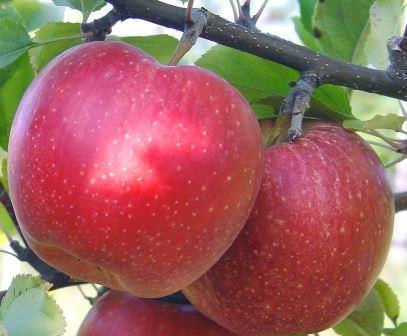 Яблоня благодаря своей неприхотливости - одно из наиболее популярных плодовых деревьев в России