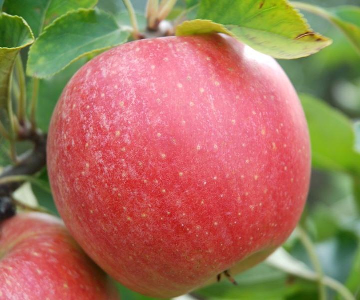 Самым ранним из зимних сортов яблок является Чемпион