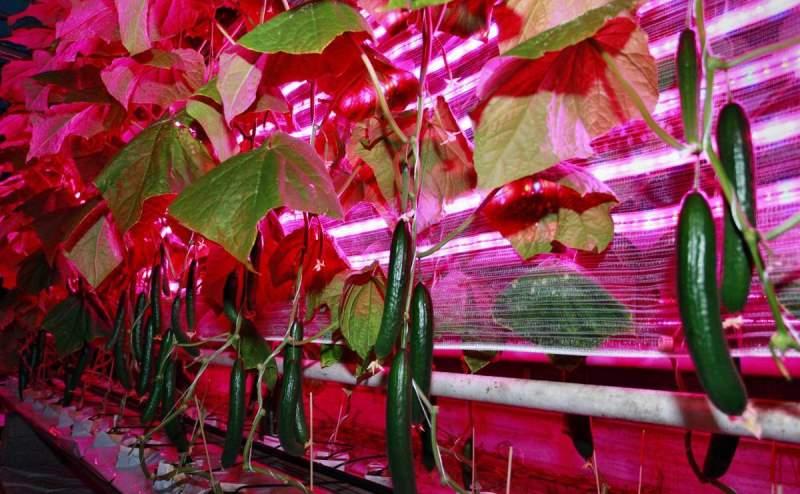 При подсветке светодиодными лампами растения проходят весь путь развития
