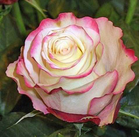 Невероятно красивой разновидностью является сорт чайно-гибридной розы Sweetness