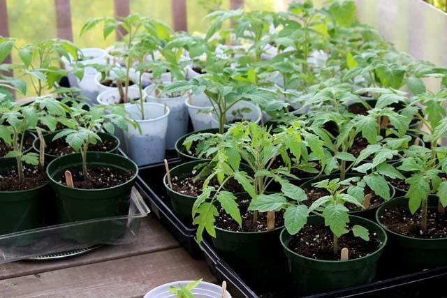 Выращивание помидоров сорта Джина может проводиться как рассадным, так и безрассадным способом