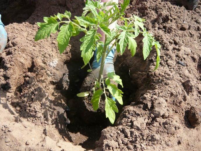 Во второй половине мая, в теплый, но пасмурный день, томатную рассаду следует высаживать на постоянное место