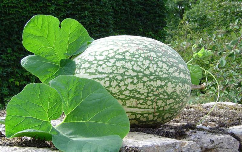 Декоративность растения подчеркивают пятна светлого оттенка на зеленом фоне