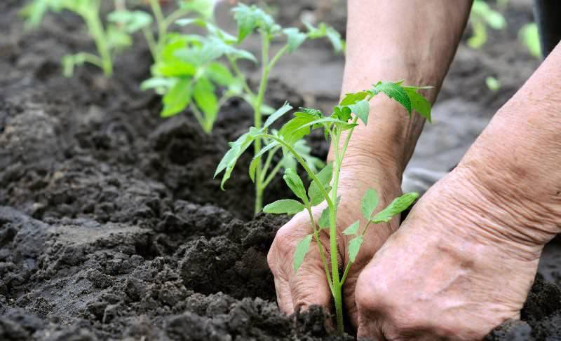 Высаживать рассаду сорта Третьяковский f1 следует в хорошо увлажненный грунт, в пасмурную погоду или вечером