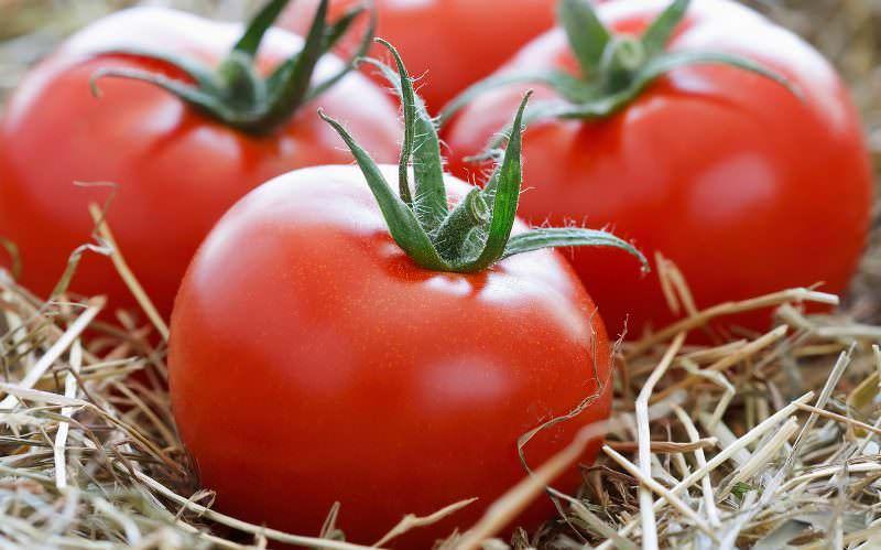 Созревают плоды сорта Ямал за 83 дня после появления первых всходов