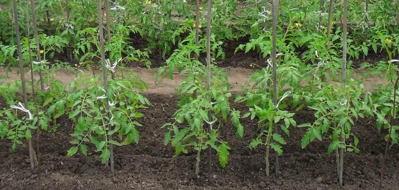 Расстояние между рассадой томатов – 40 см