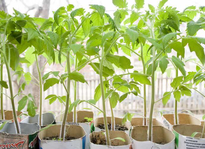 Когда сажать помидоры в закрытый грунт, зависит от климатических условий района