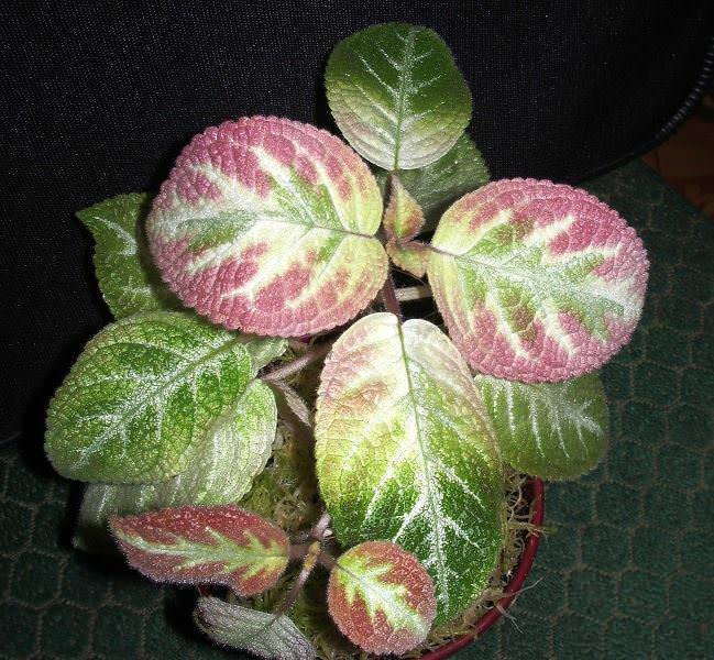 Для эписции характерные эллиптические супротивно расположенные листья