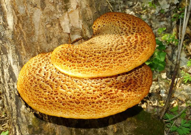 Трутовик растет на деревьях и питается их полезными веществами