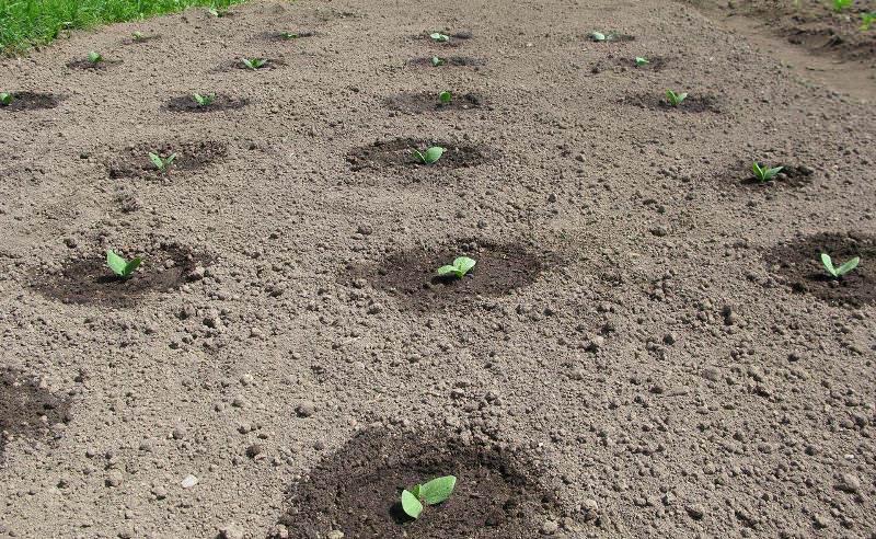 Чаще всего садоводы предпочитают сажать семена сразу на грядку