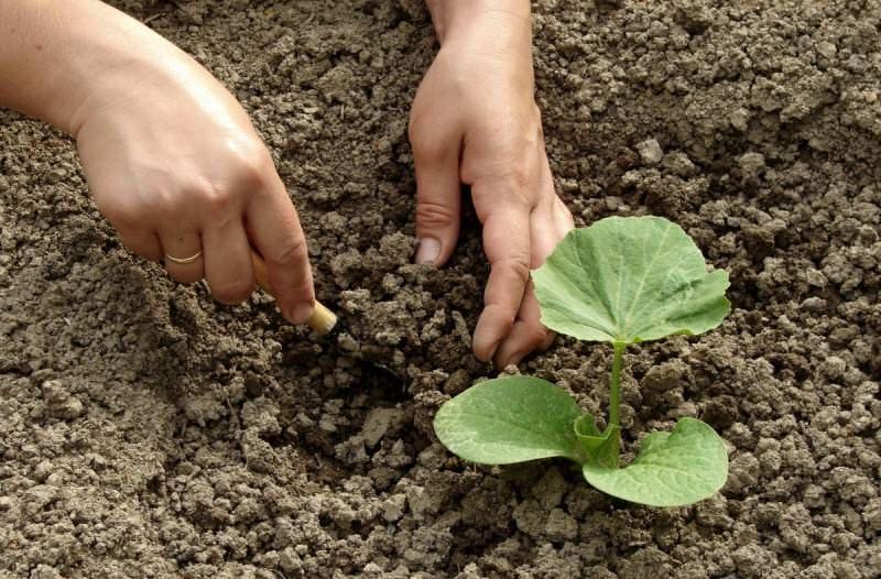 Впервые тыкву в открытом грунте подкармливают вскоре после образования 5 листочка
