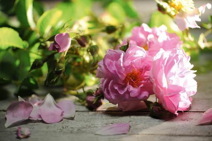Как правило, дамасскую розу выращивают на юге и юго-западе России в качестве декоративного растения