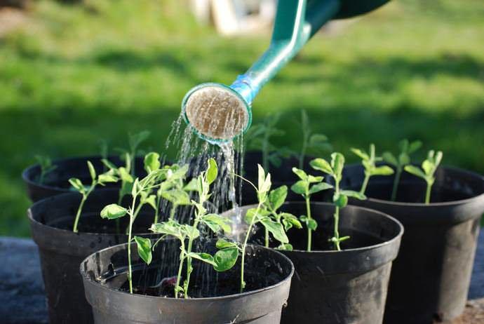 Лучший способ удобрить саженцы – поливать их полезной смесью из готового удобрения для рассады