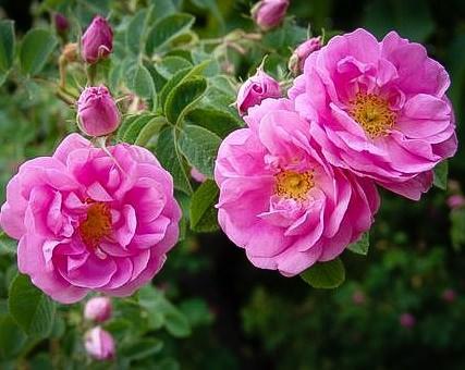 Дамасская роза хорошо известна садоводам-огородникам
