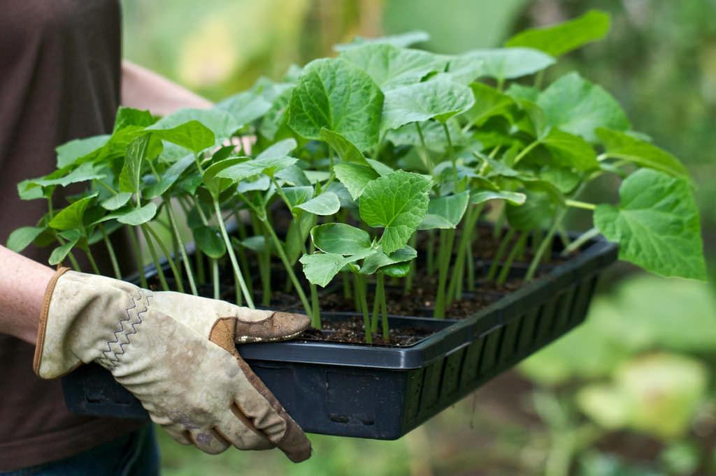 Сегодня многие дачники выбирают выращивание огурцов не семенами, а рассадой